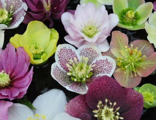 All About Hellebores