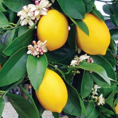 Close-up of lemons on lemon tree