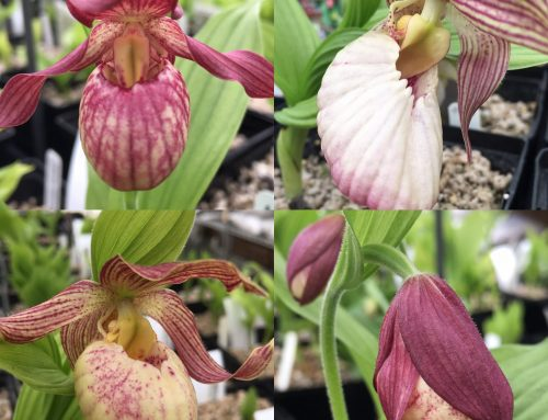 How to Grow Hardy Cypripedium Lady's Slipper Orchids