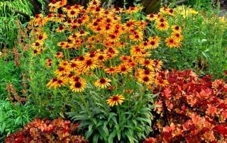 Enchinacea Flame Thrower
