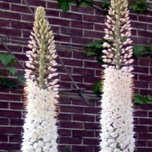 Eremurus robustus is a foxtail lily with huge spires of pale pink buds opening to white flowers.