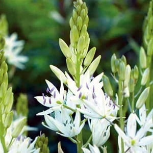 Camassia leichtlinii 'Alba' has elegant spires covered with masses of star-shaped white flowers.