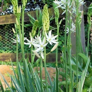 Camassia leichtlinii 'Sacajawea' has elegant spires covered with masses of star-shaped white flowers atop variegated foliage.