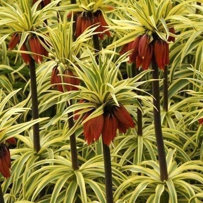 Fritillaria imperialis'Argenteovariegata' is a bold variegated cultivar with green and creamy yellow leaves and bracts, dark stems, and deep orange-red flowers.