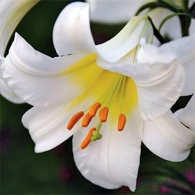 Lilium regale 'Album' is the uncommon pure white form of this species trumpet lily with elegant white flowers with a yellow glow in the throat.