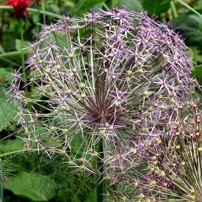 Allium cristophiilooks like a firework of tiny lavender pink flowers exploding in heads up to 15 inches wide!