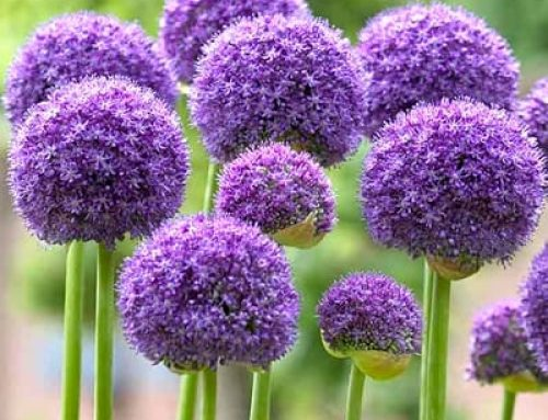 No One Should Live Without Ornamental Onions