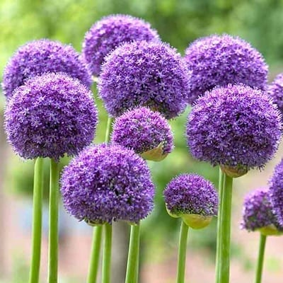Allium 'Gladiator' has large, fragrant lavender-purple spheres the size of soft balls on 3-4 foot stems.