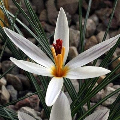 Crocus fleischeriis a rare and distinctive species with narrow, pure white petals and bright orange-red, branched pistils.