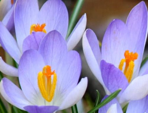 Crocus: The Favourite Early Spring Bulb