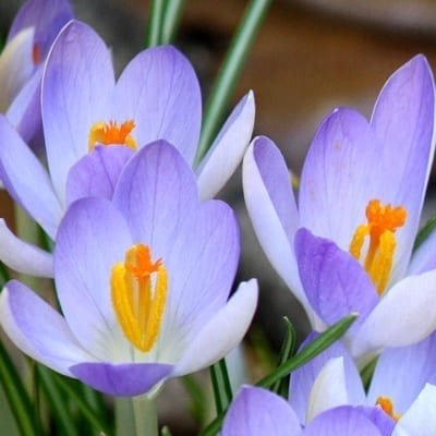 Crocus tommasinianus 'Lilac Beauty' is a selected form with glowing icy lavender petals that are lighter at the base, darkening towards the tips.