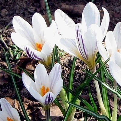 Crocus versicolor 'Picturatus' is a delicately beautiful selection with pure white petals with the reverses feathered with dark purple veining.