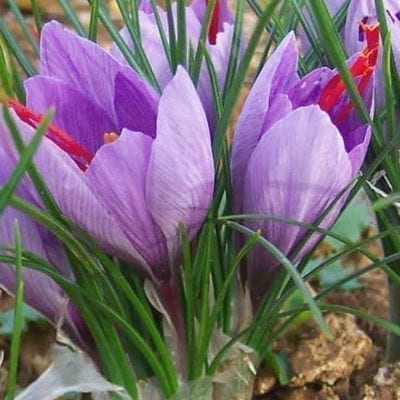 Crocus sativusis the purple, October blooming crocus grown to produce saffron, a luxury spice cultivated since the late Bronze Age.