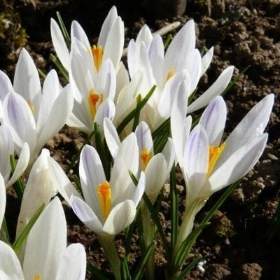 Crocus tommasinianus 'Albus' is a rare and lovely form with pure white petals.