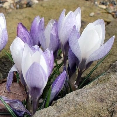 Crocus biflorusssp. weldenii'Fairy' is a beautiful cultivar with ivory white inner petals and pewter purple outer ones.