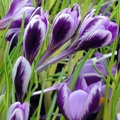 Crocus minimusis a species of Corsica and Sardinia with lavender flowers with the petal reverses feathered with royal purple.