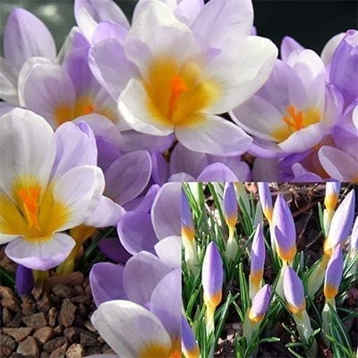 Crocus sieberi 'Firefly' has striking bicolour buds of orange-yellow and lavender opening to reveal lavender and white petals.