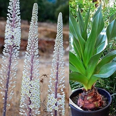 Giant sea squill, Drimia (Urginea) maritima, produces huge bulbs with dramatic leathery leaves and amazing 4-6 foot tall spikes of white star-like flowers.
