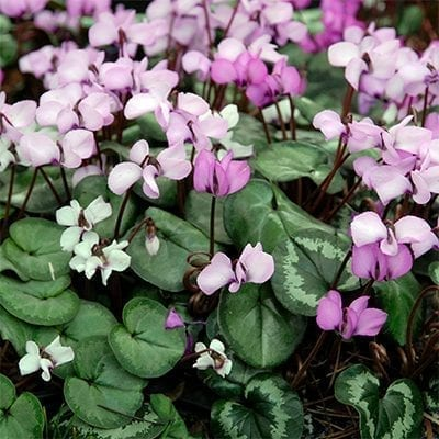 Cyclamen coum is a delicate shady perennial with charming pink flowers and heart-shaped leaves often marbled with pale green or silver.