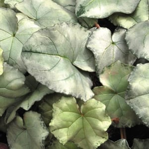 Cyclamen hederifolium 'Silver Leaf' has sculptured silver leaves that create an amazing illuminating effect in the winter shade garden.