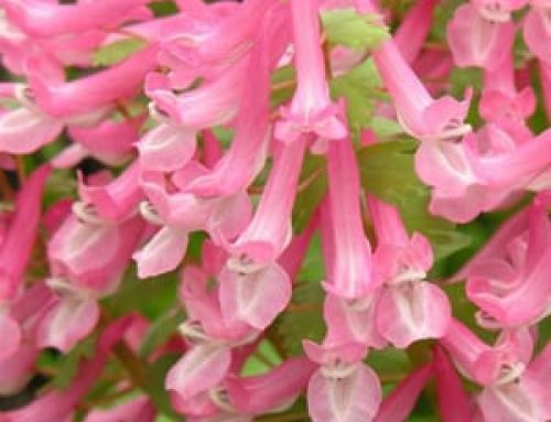 Corydalis: Drifts of Colour for the Early Spring Shade Garden
