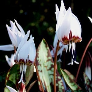 Erythronium dens-canis 'Snowflake' has beautiful burgundy-mottled foliage that gives rise to red stems and nodding, white, lily-like flowers in spring.