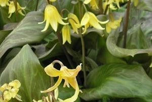 Erythronium'Kondo' has lemon yellow, nodding, lily-like flowers held above lush, glossy, burgundy-mottled foliage.