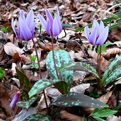 Erythronium dens-canis has beautiful burgundy-mottled foliage with red stems and nodding, pink to lavender, lily-like flowers in spring.