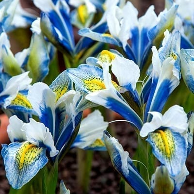 Iris reticulata 'Sea Breeze' is a striking, hardy dwarf cultivar with royal blue, white and yellow flowers.