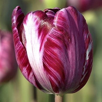 Tulipa 'Columbine' introduced in 1929 is richly coloured with feathers, flames or marbles of purple on lavender with white.
