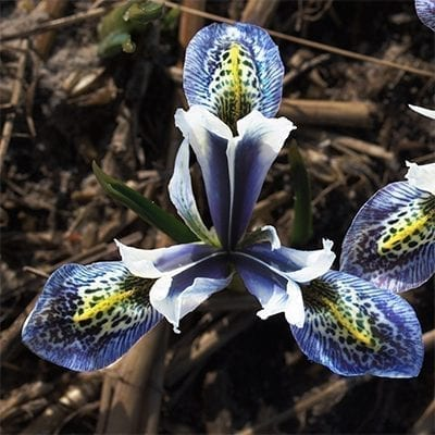 Iris reticulata 'Splish Splash' is a dramatic cultivar with gorgeously etched spots and stripes of royal blue and yellow on a white background.
