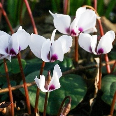 Cyclamen coum 'Album' has white flowers atop heart-shaped, dark green leaves that are often marbled with pale green or silver.