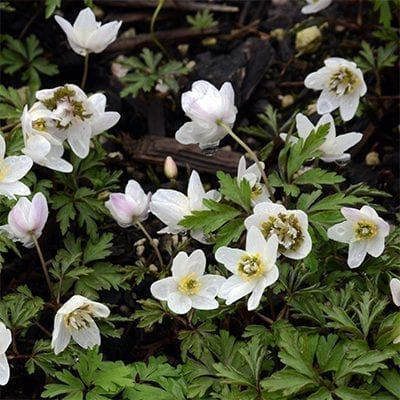 Anemone nemorosa 'Green Fingers' is a crazy white-flowered cultivar with leafy, green, finger-like growths emerging from the centre of each flower.