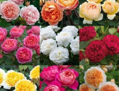 How to Grow David Austin Roses in Zone 3