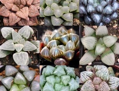 Haworthia: An amazing genus of southern African succulents